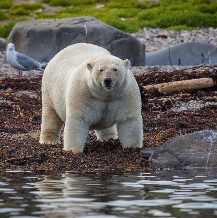 Вам нравятся белые медведи?