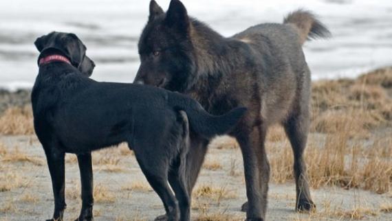 Удивительная дружба волка с человеком